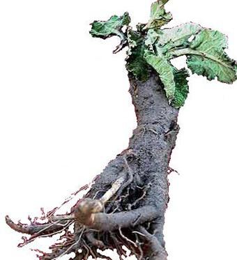 корень лопуха противопоказания